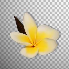 Realistic 3D Frangipani (Plumeria) and Palm leaves Isolated On on transparent background . Hawaii, Bali (Indonesia), Shri-Lanka. thailand flower. Vector Illustration
