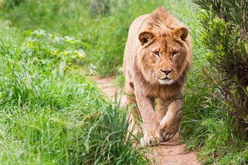 Lion Walking Down a Dirt Path
