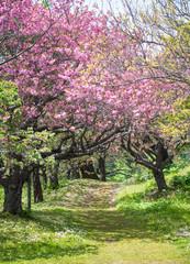 Sakura or Cherry Blossom pathway