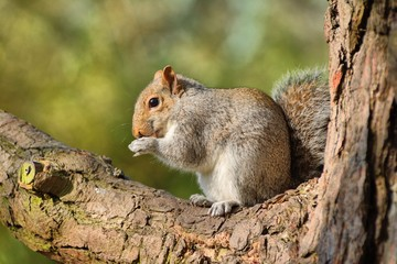 grey squirrel, (Sciurus carolinensis,) nibbling a peanut in fork of tree.