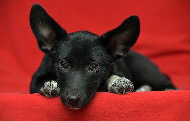 Black and white Dachshund Terrier mixed breed little dog on red background