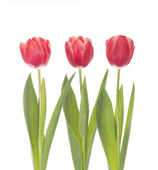 Three red tulips isolated on white background.