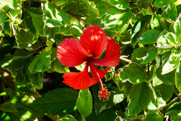 A colorful exotic Hibiscus with red petals. New Providence, Nassau, Bahamas.