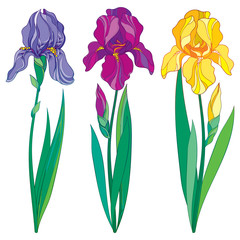 Vector set with outline purple, lilac and yellow Iris flower, bud and leaves isolated on white background. Ornate flowers for spring or summer design, greeting card with Irises in contour style.