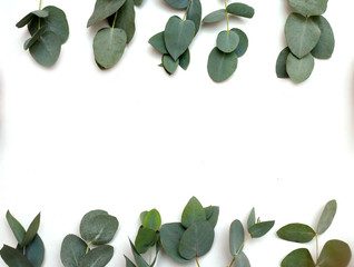 Eucalyptus leaves. Pattern from the green