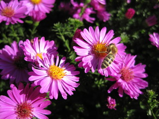 Beautiful pink bushy aster flower in a natural garden environment - sunny bright scene - one busy bee