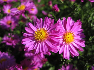 Beautiful pink bushy aster flower in a natural garden environment - sunny bright scene
