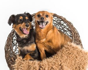 Two mixed breed dogs. Rat terrier and mini dachshund posing for pet portraits in wicker basket with blanket.