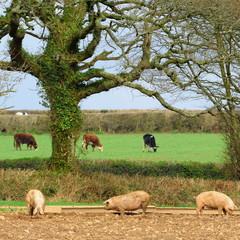 Wall Mural - Pig farm in rural Devon, England