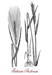 Vintage engraving of common wheat, cereal grain cultivated worldwide as food ingredient with high protein content. The seeds inside the spikelets remain attached to the ear during harvest.