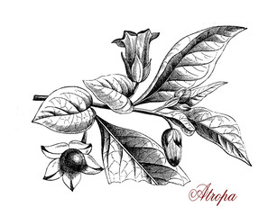 Atropa flowering plant of the nightshade family with glossy berries highly toxic.