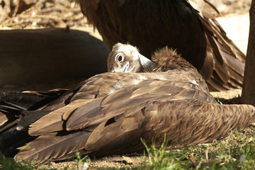 Young of Cinereous Vulture