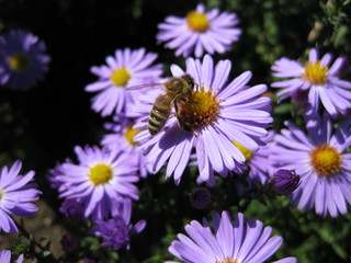 Beautiful bushy aster flower in a natural garden environment - sunny bright scene - one busy bee