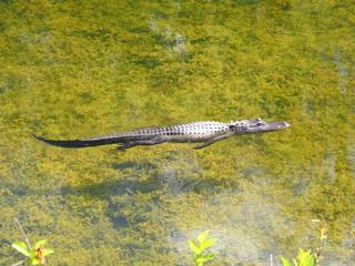 American alligator at Evergaldes National park in florida