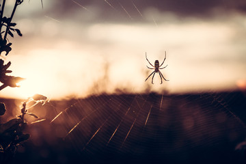 Spider on web in summer meadow during sunset with back light in vintage colors with copy space
