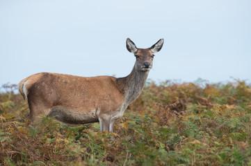 Red Deer Hind (Cervus elaphus)/Red Deer Hind in dense golden and green bracken