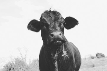Cute cow in black and white vintage feel, great for animal background or decor print.  Really shows off the livestock and rural lifestyle.
