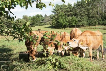 Cows at the Fence