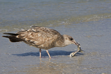 An immature gull eating a dead fish.