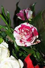 ''Alice rose''- colorful rose looks like roses from the story ''Alice's Adventures in Wonderland''