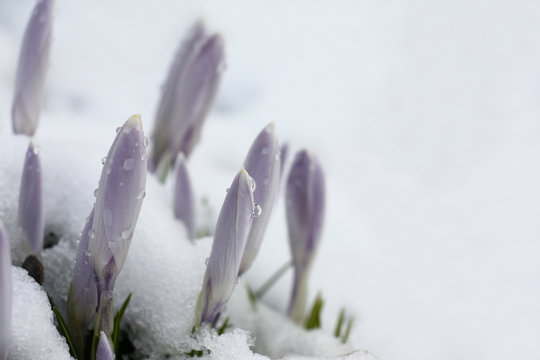 Crocuses on the white./Through wet friable snow not opened large buds of light-violet crocuses have made the way.