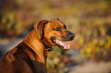 Rhodesian Ridgeback dog in natural field