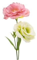 eustoma Beautiful flower