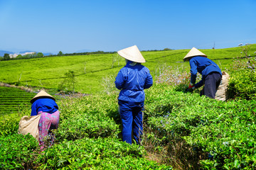 Workers in traditional hats picking upper bright tea leaves