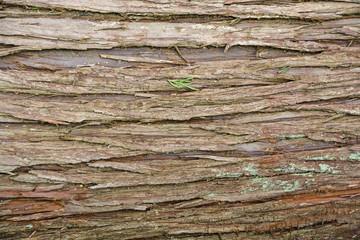 Bark of white cedar texture
