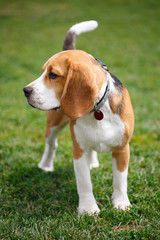 Portrait of a beagle dog