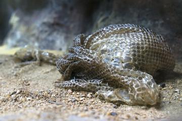 snake slough after snake moulting, sloughing, shedding