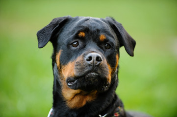 Rottweiler dog head shot