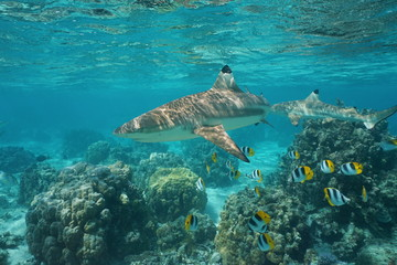 Blacktip reef shark with tropical fish Pacific double-saddle butterflyfish and lobe corals underwater in a lagoon, Pacific ocean, French Polynesia