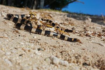 Sea snake banded sea krait, Laticauda colubrina, on a sandy seashore, south Pacific ocean, New Caledonia