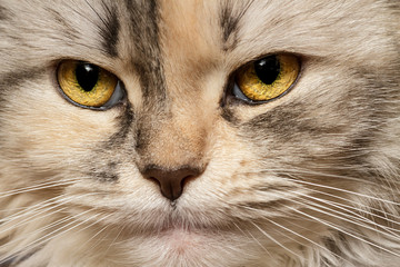 Cat three-color close-up