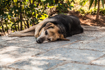 Sleeping dog outdoors in the shade