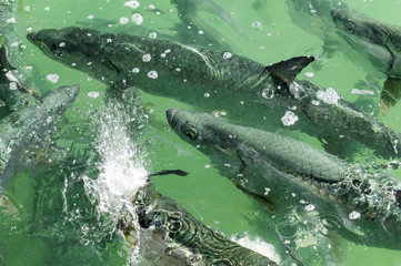 Lots of Tarpons in shallow Water