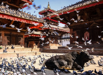 Holy cow with doves and crows, Durbar Square, Kathmandu, Nepal