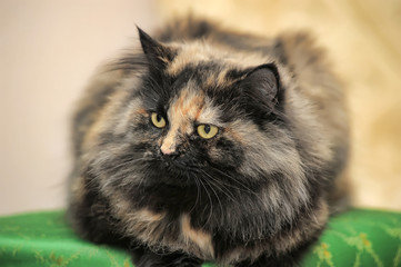 Beautiful fluffy cat tortoiseshell