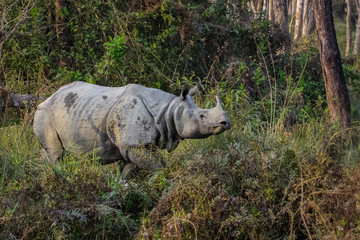 Endangered Indian rhinoceros in morning light, Chitwan National Park, Nepal