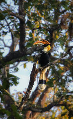 Great hornbill perching on a branch in the forest, Chitwan National Park, Nepal