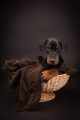 Doberman pinscher (Dobie) puppy
