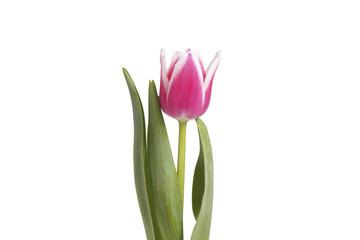 Flower pink tulip.