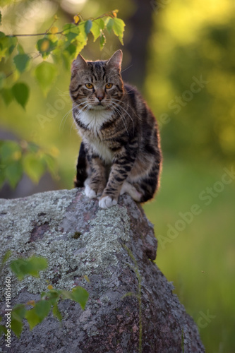 Cat of marble color sitting on a rock in a thicket of grass