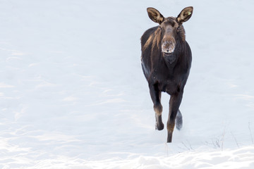Moose on the run