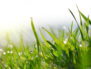 Fresh green blades of grass with dew drops closeup.