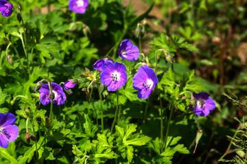 Wild flower. A geranium flower growing on a summer meadow.