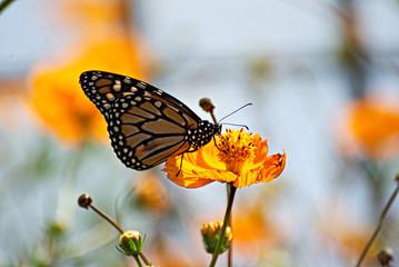 Wonderful Monarch butterfl in an orange flower