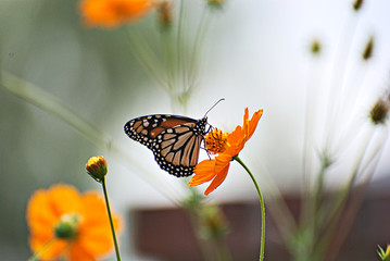 Monarch butterfly on an orange flowers with a colorful background