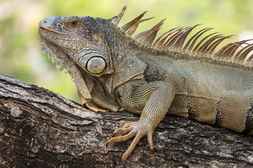 Closeup iguana on tree.